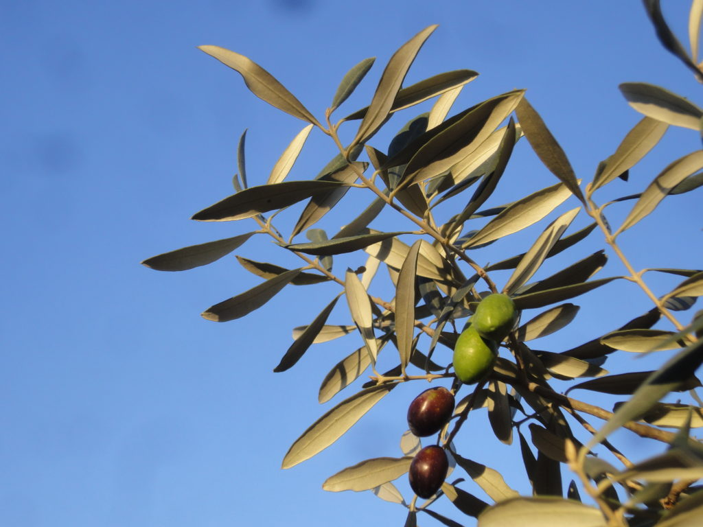 Olives 'Lucques'